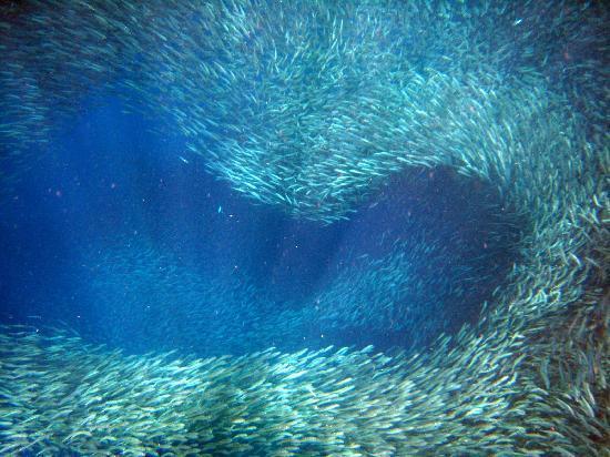 Sardines at Pescador Island