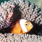 Nemo and his shrimp friend