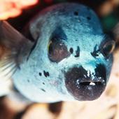 Puferfish
