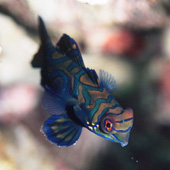 Colorful  mandarin fish