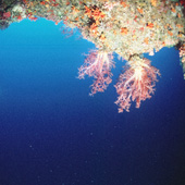 Beautiful overhanging soft coral