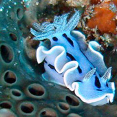 Nudibranch with a clear view of the gills