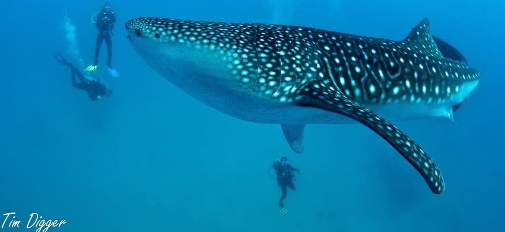 whale sharks at oslob