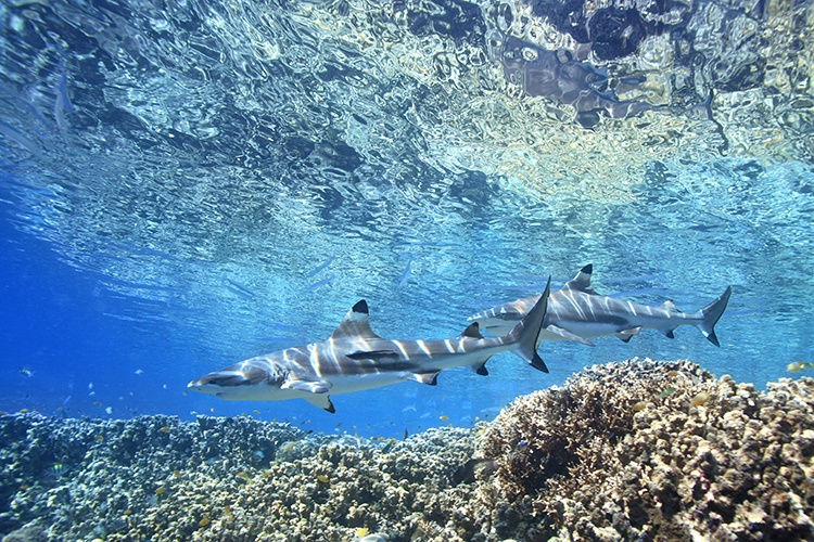 Learning-to-Dive-Black-tip-reef-shark