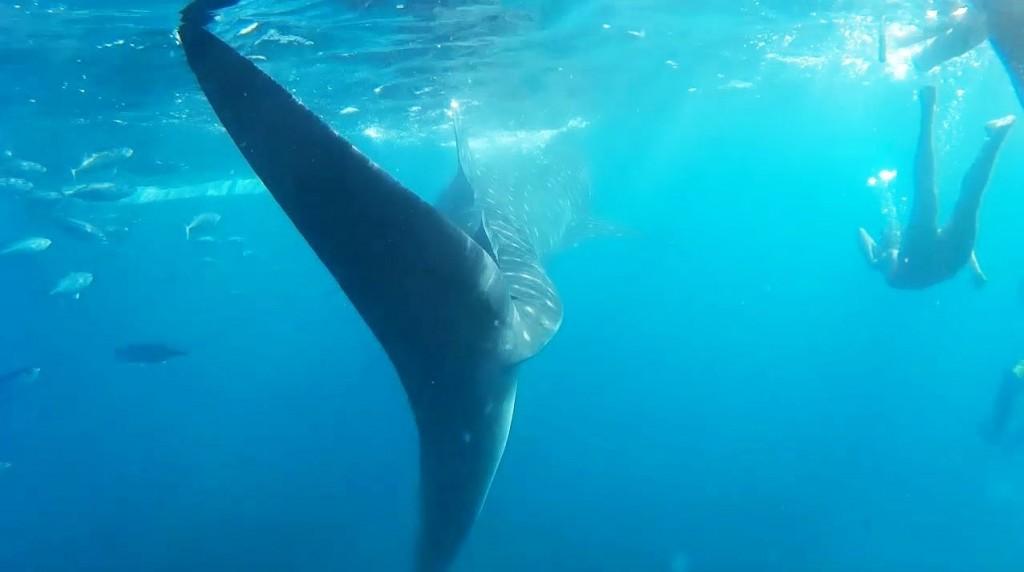 oslob-cebu-whale-shark-tail-8-1024x572